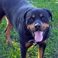 Rottweiler Mix Dog for adoption in Detroit, Michigan - Dex Foster me?