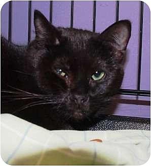 Domestic Shorthair Kitten for adoption in Ocean City, New Jersey - Beckett
