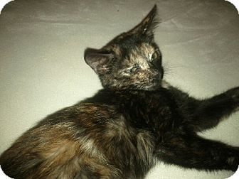 Domestic Shorthair Kitten for adoption in Phoenix, Arizona - JUNEBUG