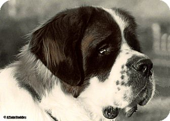 St. Bernard Dog for adoption in Glendale, Arizona - T2 - TOBY II