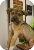 Labrador Retriever/Boxer Mix Puppy for adoption in Homewood, Alabama - Samwyse