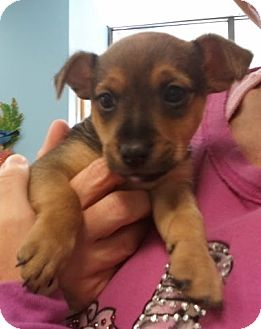Dachshund/Chihuahua Mix Puppy for adoption in Encinitas, California - Sherman