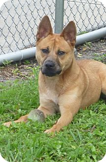 Chow Chow Mix Dog for adoption in St. Petersburg, Florida - Ginger