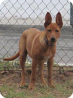 Orange Turkish Angora GINGER | Adopted Puppy...
