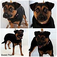 Adopt A Pet :: Sweat Pea - Evansville, IN