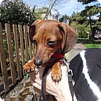 Adopt A Pet :: RODGER THAT! - Portland, OR