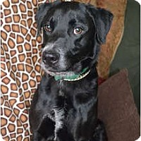 Adopt A Pet :: Scotty Dog - Lewisville, IN