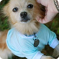 Adopt A Pet :: Pixie - Knoxville, TN
