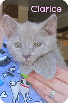 Domestic Shorthair Cat for adoption in Menomonie, Wisconsin - Clarice
