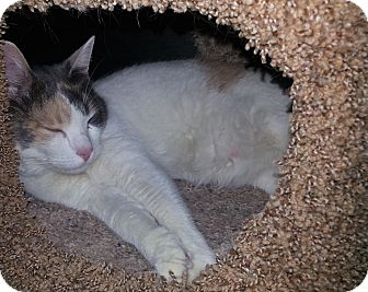 Declawed Cat For Adoption Arizona