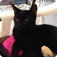 American Shorthair Cat for adoption in Waynesville, North Carolina - Symba
