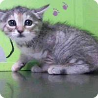 Adopt A Pet :: SHAI - Houston, TX