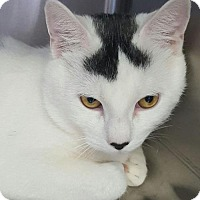 Domestic Shorthair Cat for adoption in New Bedford, Massachusetts - Pepper