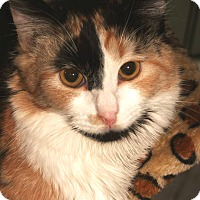Calico Cat for adoption in Encino, California - Miss Charlie