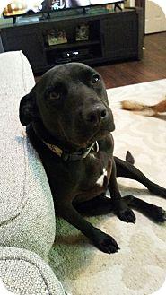 Labrador Retriever/Pit Bull Terrier Mix Dog for adoption in Richmond, Virginia - Bailey