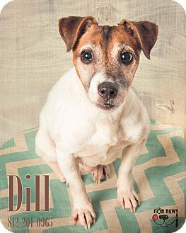 Jack Russell Terrier Mix Dog for adoption in Terre Haute, Indiana - Dill