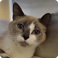 Siamese Cat for adoption in Herndon, Virginia - Fluffanutter