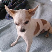 Chihuahua Dog for adoption in Bonifay, Florida - Henny