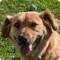 Golden Retriever/Border Collie Mix Dog for adoption in Santa Fe, Texas - Riley