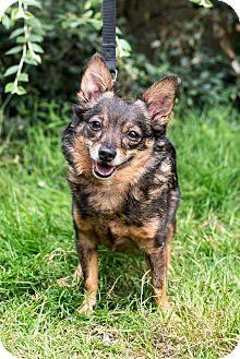 Schipperke/Chihuahua Mix Dog for adoption in Seattle, Washington - Zorro