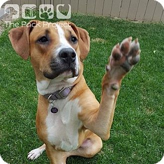 Boxer/Beagle Mix Dog for adoption in Regina, Saskatchewan - Lacey