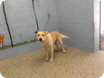 Labrador Retriever/Retriever (Unknown Type) Mix Dog for adoption in San Bernardino, California - URGENT ON 10/12 San Bernardino