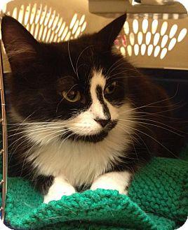 Domestic Mediumhair Cat for adoption in Richmond Hill, Ontario - Ava