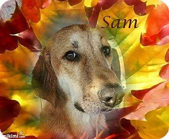Golden Retriever/Labrador Retriever Mix Dog for adoption in Crowley, Louisiana - Sam