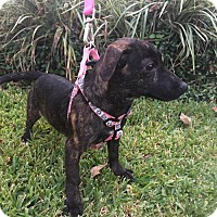 Dachshund Mix Puppy for adoption in Tomball, Texas - Punkin