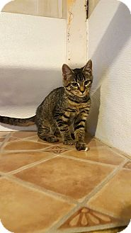 Domestic Shorthair Kitten for adoption in Fairmont, West Virginia - Allen