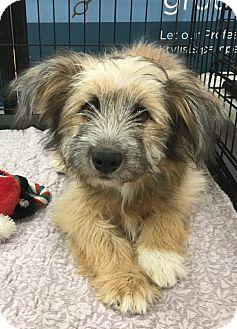 Terrier (Unknown Type, Medium) Mix Dog for adoption in Tucson, Arizona - Cora