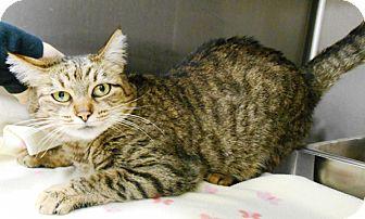 Domestic Shorthair Cat for adoption in Redding, California - Pretzel