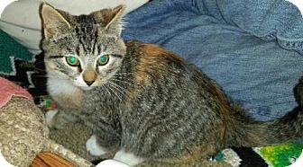 Domestic Shorthair Kitten for adoption in Baltimore, Maryland - .Caramel