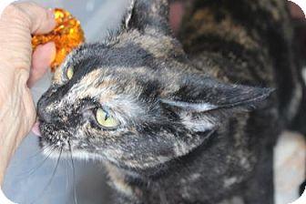 Domestic Shorthair Cat for adoption in Tucson, Arizona - Brittany