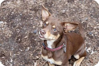 Chihuahua/Miniature Pinscher Mix Dog for adoption in Phoenix, Arizona - COCO