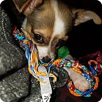 Adopt A Pet :: Macchiato (Cafe Crew) - Alexandria, VA