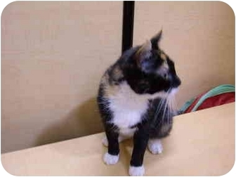 Domestic Shorthair Cat for adoption in No.Charleston, South Carolina - Dazzle