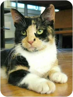 Domestic Shorthair Cat for adoption in Plainville, Massachusetts - Spicy