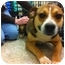 Photo 1 - Beagle/Terrier (Unknown Type, Small) Mix Dog for adoption in Blanchard, Oklahoma - Cindy