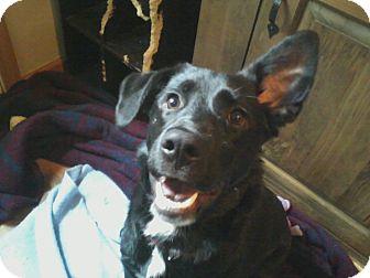 Labrador Retriever/Shepherd (Unknown Type) Mix Puppy for adoption in Youngstown, Ohio - Sophia ~ Adoption Pending
