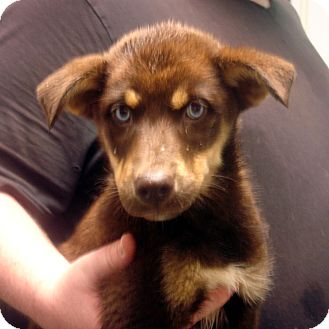 Collie/Husky Mix Puppy for adoption in baltimore, Maryland - Disney