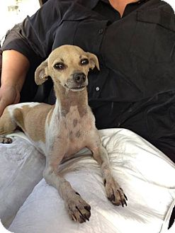 Chihuahua/Italian Greyhound Mix Dog for adoption in Houston, Texas - Barnaby