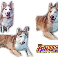 Adopt A Pet :: Buffett - Seminole, FL