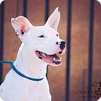 Adopt A Pet :: Perdita - Las Vegas, NV