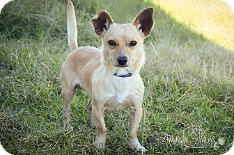 Chihuahua Mix Dog for adoption in Pilot Point, Texas - KAIZER