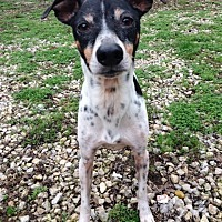 Rat Terrier/Italian Greyhound Mix Dog for adoption in House Springs, Missouri - Rocket