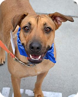 Shepherd (Unknown Type)/Rhodesian Ridgeback Mix Dog for adoption in San Diego, California - Breeze - Adopted!