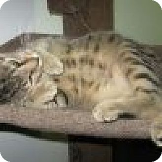 Domestic Shorthair Cat for adoption in Powell, Ohio - Fausto