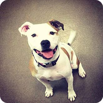 Pit Bull Terrier Mix Dog for adoption in Flossmoor, Illinois - Fallon