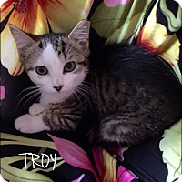 Domestic Shorthair Kitten for adoption in Great Neck, New York - Troy